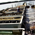 Ward Oyster - Our Aquaculture Oyster Farm - Gloucester Virginia